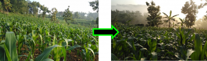 Cara Aplikasi Acele Pada Tanaman Jagung Manis, acele, acele indonesia, pupuk cair, pupuk organik, pupuk cair organik